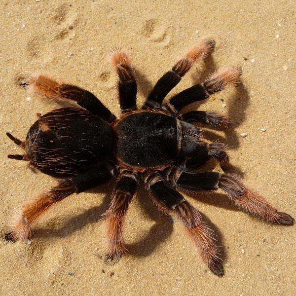 tarantula - naomi's wild & scary
