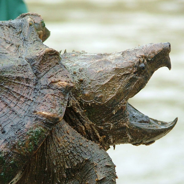 alligator snapping turtle naomi's wild & scary